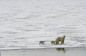 Polar_bears_and_sea_ice