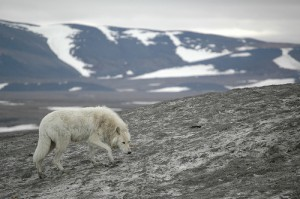 arctic_wolf