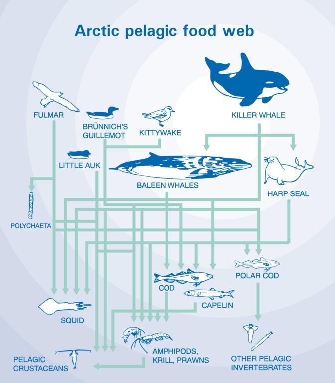 Polar Bear Food Chain Diagram